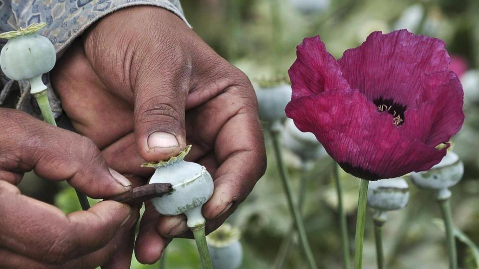 A man lances a poppy bulb to extract the sap, which will be used to make opium.