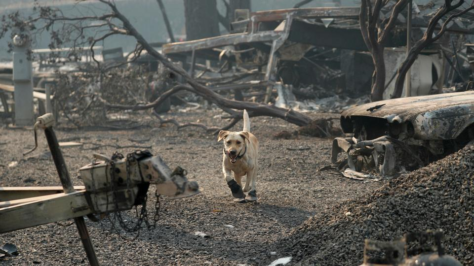 A search and rescue dog searches for human remains at the Camp Fire on November 16, 2018 in Paradise, California.