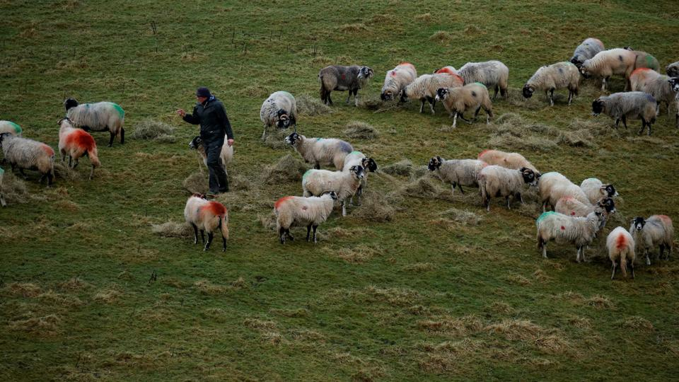 A farmer tends to his sheep on a farm near Hawes in North Yorkshire, Britain January 9 2020.