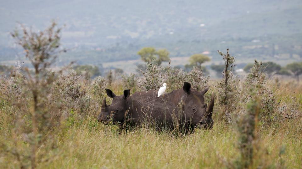 Rhinos in Kenya face a new threat: bacteria – study