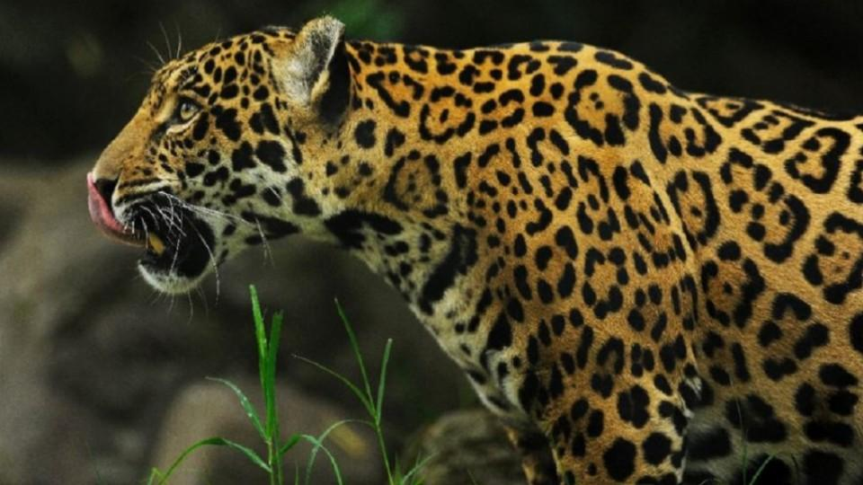 Jaguars Look Like The Leopard, The Only Difference Being They Have Spots  Inside Their Rosettes