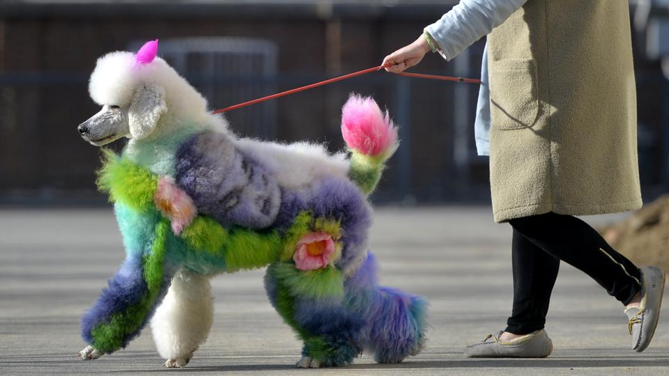 A woman walks a dog with styled and dyed fur on a street in Shenyang, Liaoning province in China on December 25, 2018.