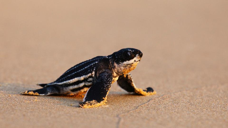 Deserted Thai beaches lure rare turtles to build most nests in 20 ...