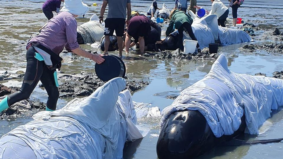 Scores of pilot whales die after beaching in New Zealand