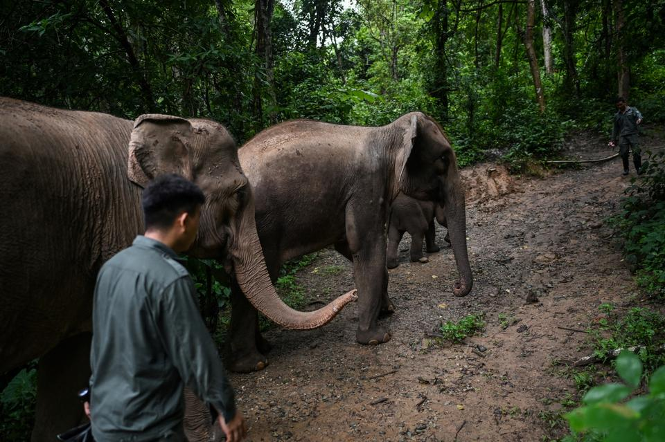 This photo taken on July 20, 2021 shows conservation workers walking with elephants as they go into a forest to eat in the Asian Elephant Breeding and Rescue Centre in Xishuangbanna in southwest China's Yunnan province.