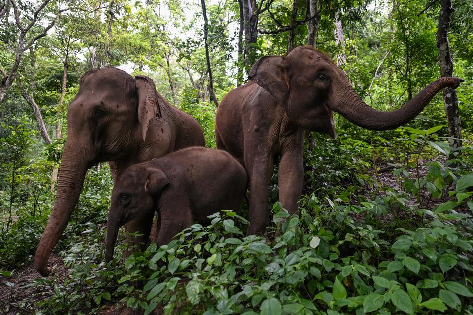 This photo taken on July 20, 2021 shows elephants eating in a forest in the Asian Elephant Breeding and Rescue Centre in Xishuangbanna in southwest China's Yunnan province.