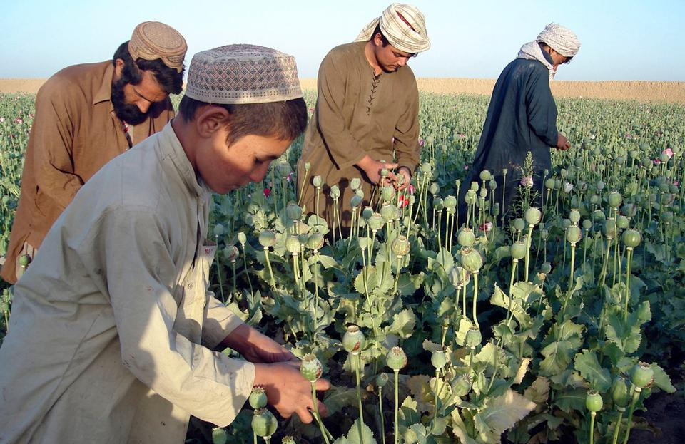 In this April 25, 2009 file photo, Afghan farmers work in opium poppy fields in Nawa district of Helmand province, south of Kabul, Afghanistan. The Taliban's money is coming mostly from extortion, crime and drugs.