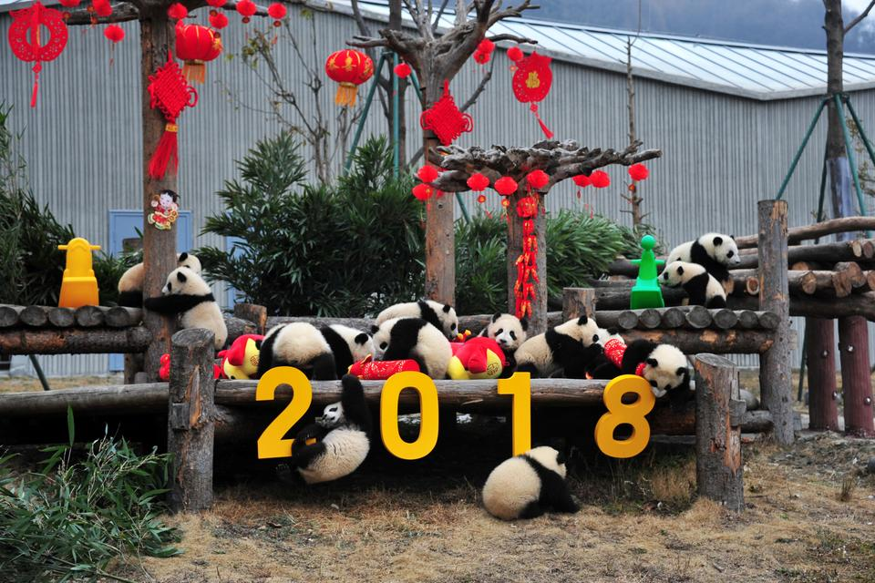 Giant panda cubs play with decorations during an event to celebrate Chinese Lunar New Year of Dog, at Shenshuping Panda Base in Wolong, Sichuan province, China February 14, 2018