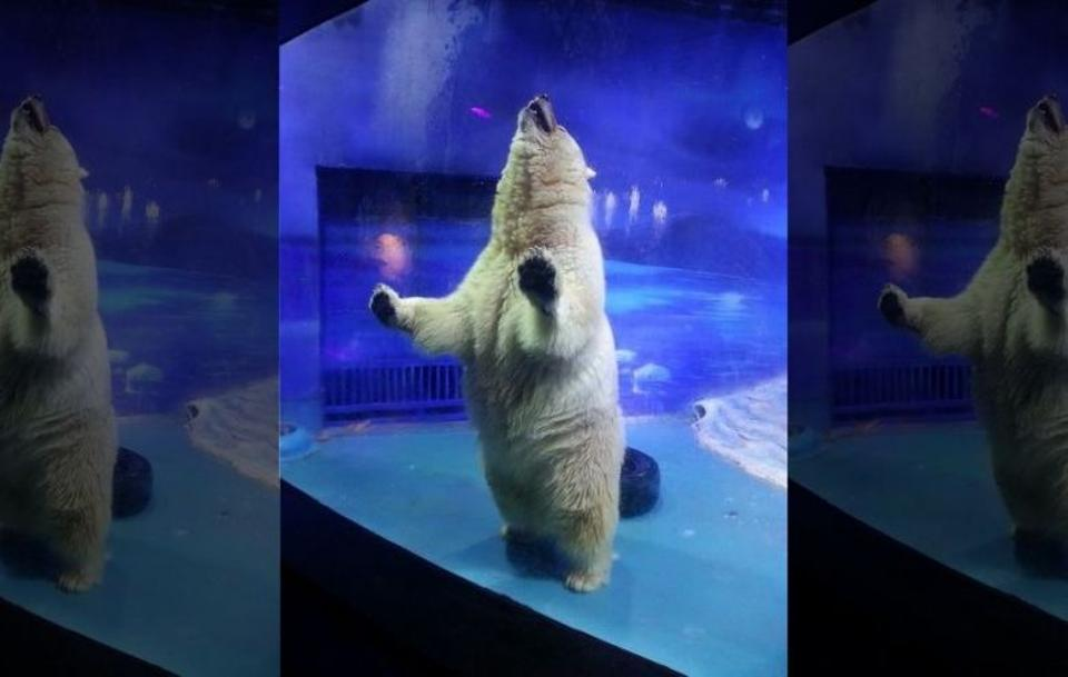 Pizza the polar bear in his enclosure in China at the Grandview Mall Aquarium in Guangzhou. Image: Animals Asia.