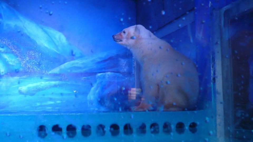 Pizza the polar bear in his enclosure in China at the Grandview Mall Aquarium in Guangzhou. Image: YouTube.