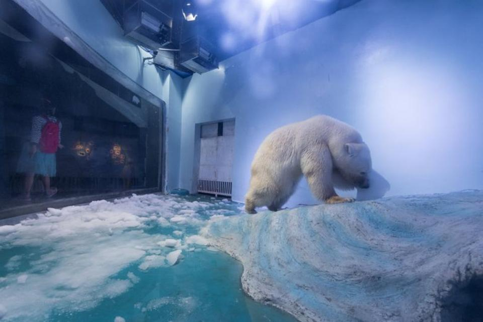 Pizza the polar bear is seen at the Grandview Mall Aquarium in Guangzhou, Guangdong province, China, July 27, 2016. Image: Reuters.