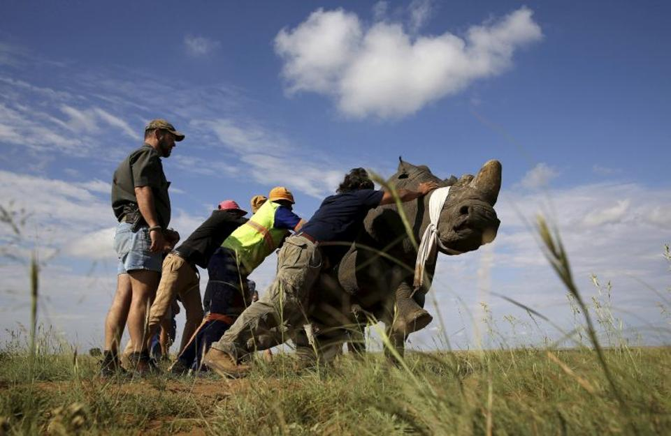 Workers attempt to bring a tranquillised rhino to the ground before dehorning in an effort to deter the poaching of one of the world's endangered species, at a farm outside Klerksdorp, in the north west province, South Africa.