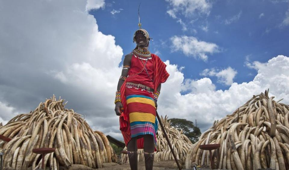 A Maasai man in ceremonial dress poses for visitors to take photographs of him in front of one of around a dozen pyres of ivory, in Nairobi National Park, Kenya.