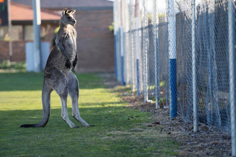 Although the match was played in the exclusive inner suburb of Deakin, kangaroos can be found almost anywhere in Canberra, the national capital.