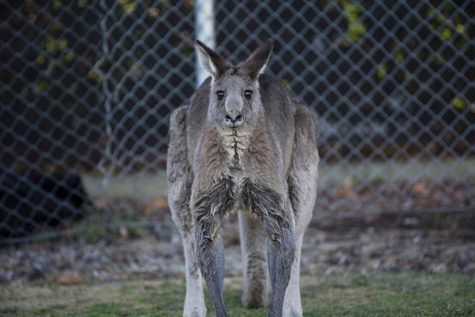 Kangaroos usually doze among the trees by day and wander the streets at night to graze on watered lawns.