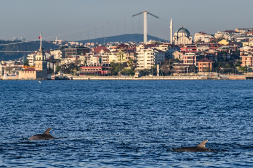 Dolphins swim in the strait of the Bosphorus, in Istanbul, Turkey, on April 25, 2020.
